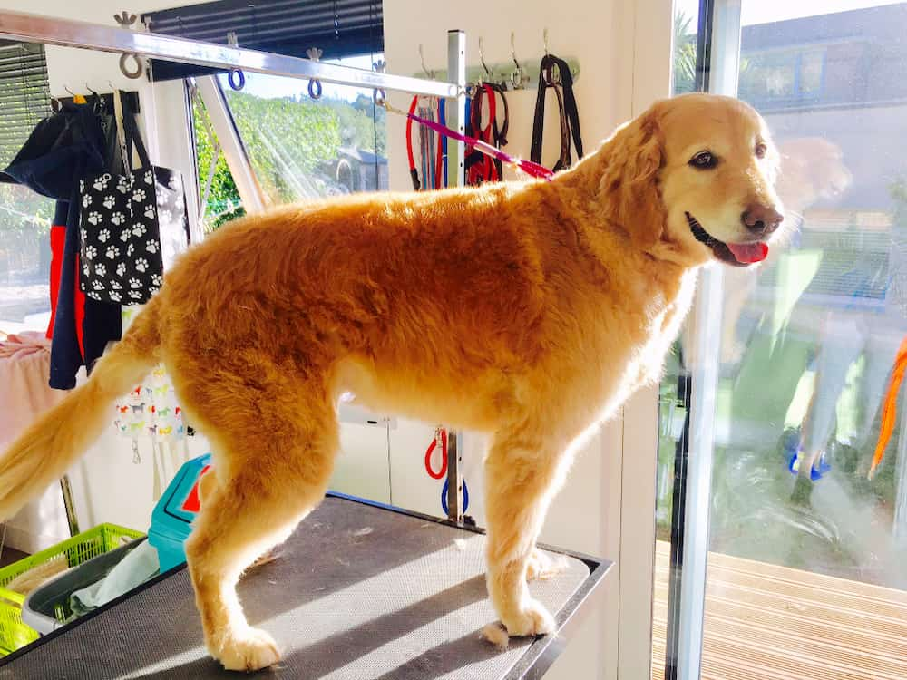 dog about to have a de-shed in the paignton salon
