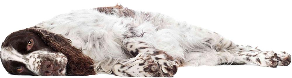 spaniel lying down on a white background